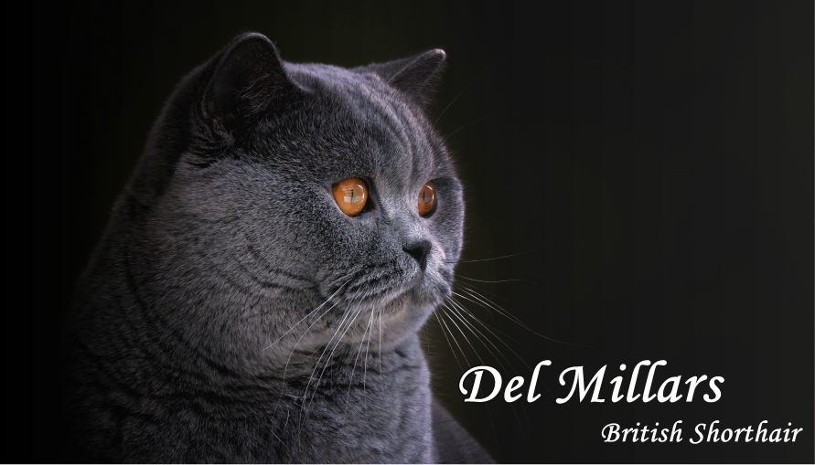 Del Millars British shorthair